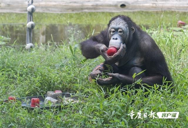 2018年7月13日,重庆市动物园,猩猩正在享用西瓜绿豆制的冰糕.